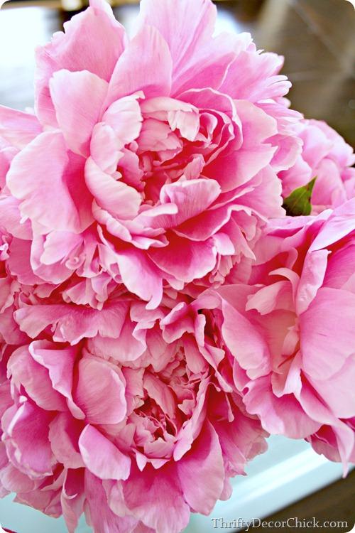 light pink fragrant peony