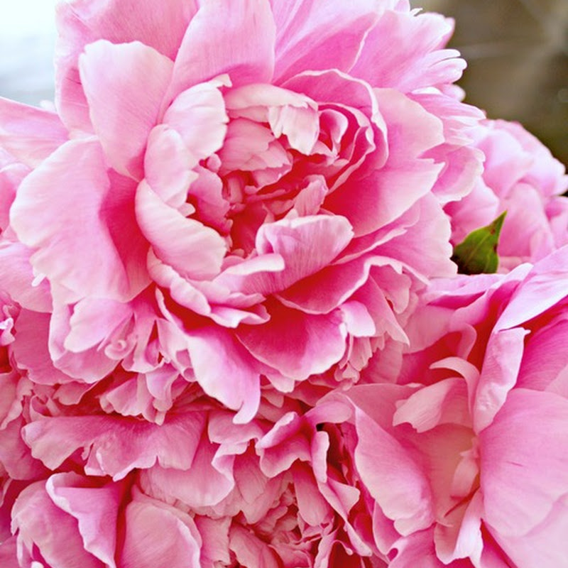 The peony, beauty of spring