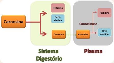 Carnosina digestão.png