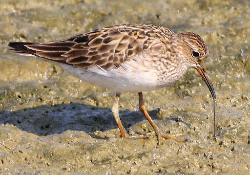 9-5-09, Adult Pectoral Sandpiper getting lunch