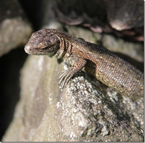 common-lizard