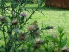 Goldfinch through sunroom window