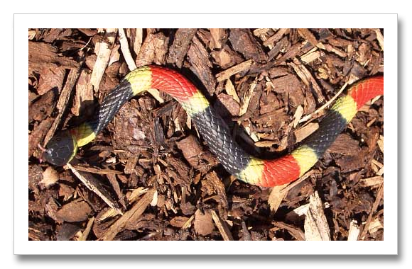 Venomous Eastern Coral Snake
