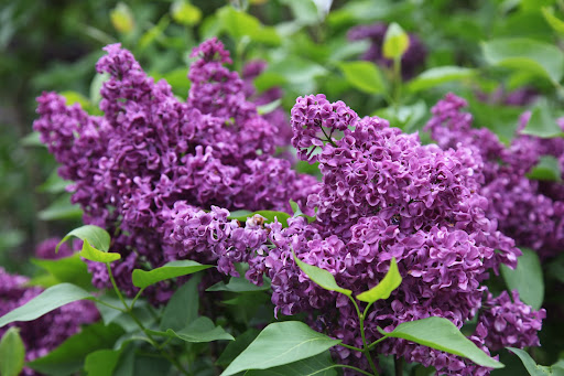 The colors of lilacs are often pale shades of blue or lavender, but can also include white, pink, and rich purples.  Flowers can be single or double.