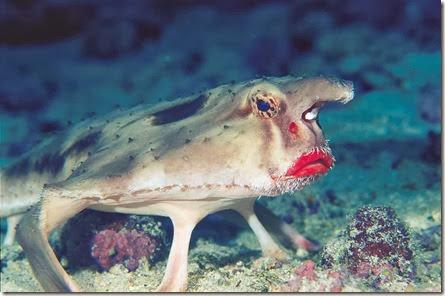 Ogcocephalus darwini