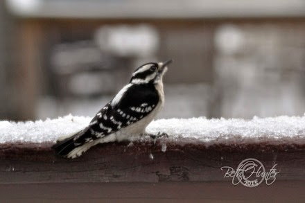 downy-woodpecker-F
