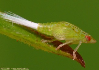 Amazing Pictures of Animals, photo, Nature, exotic, funny, incredibel, Zoo, Leafhopper, Insecta, Alex (25)
