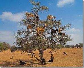 kambing-panjat-pokok-2