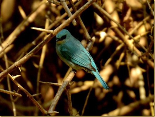 verditer flycatcher - ganeshgudi