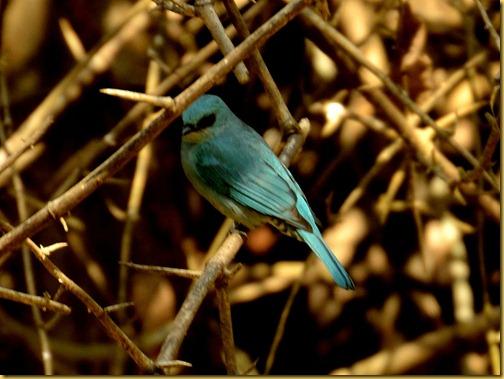 verditer flycatcher - ganeshgudi