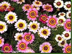 Painted Daisy Tricolor1