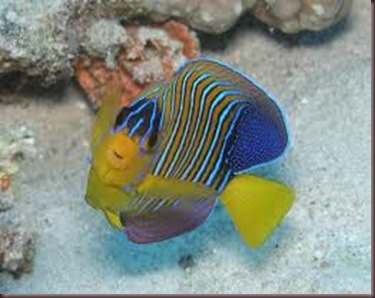 Amazing Pictures of Animals, photo Nature, exotic, funny, incredibel Zoo, Regal angelfish, Alex (7)