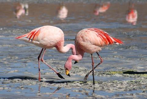Flamingos pink