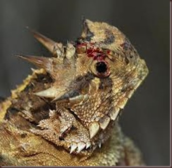 Amazing Pictures of Animals, photo, Nature, exotic, funny, incredibel Zoo, Horned lizard, Phrynosoma, Reptilia, Alex (15)