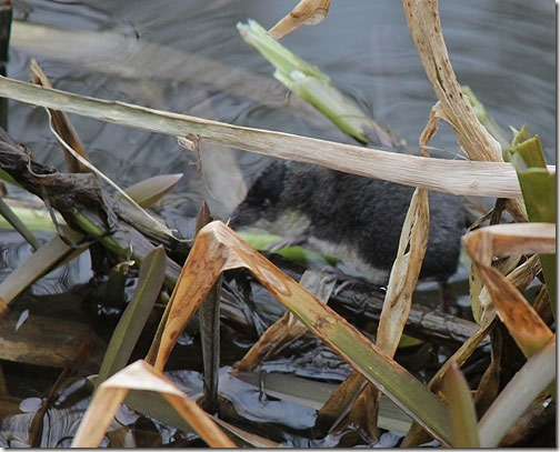 19 water-shrew