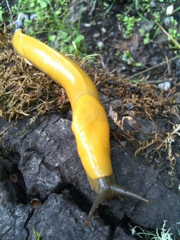 banana slug Ariolimax columbianus 22
