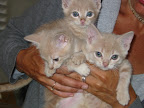 Here are three healthy siblings at 10 weeks after Jane bottle-fed them. They are eagerly awaiting their adopters in this photo!