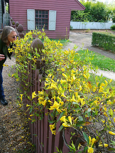 Gelsemium is a native to the South Eastern U.S., hardy to Z7, is evergreen and beautifully fragrant as you can see garden designer Mary Hayward's nose knows.