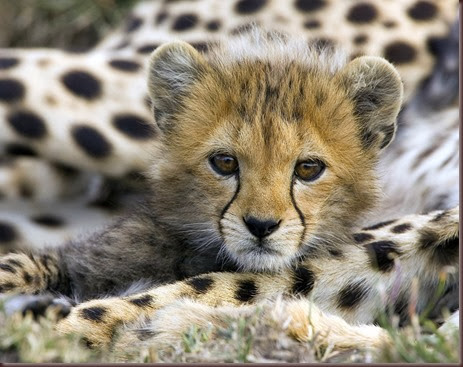 Amazing Animal Pictures Cheetah (3)