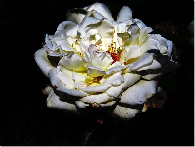 White_Rose_kkwaterfront7