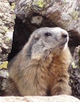 Alpine Marmot in the Orlu Valley