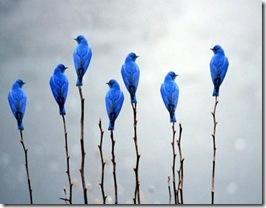 pssaros azuis