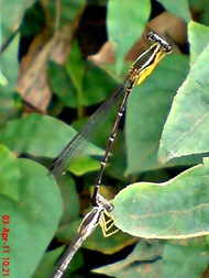 damselfly mating_capung jarum kawin 3