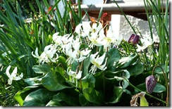 gill's erithroniums