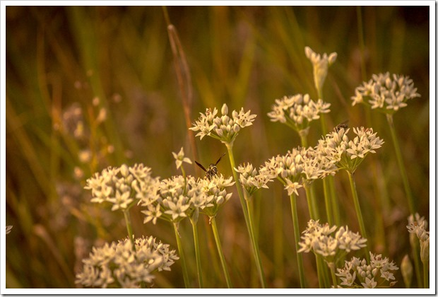 White allium flowers