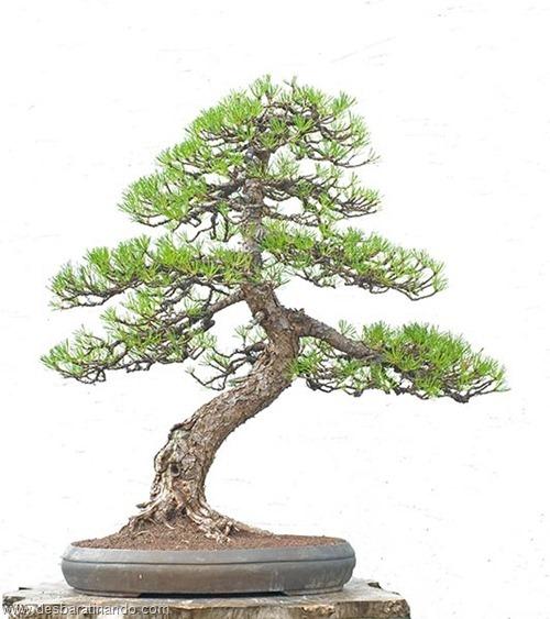 bonsais arvores em miniatura desbaratinando (39)
