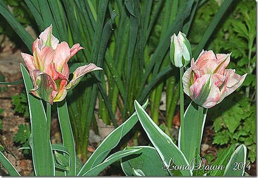 Tulip China Town1
