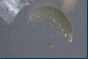 tobacco_hornworm_parasite_wasp_larvae