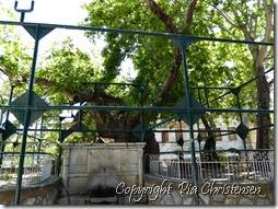 Hippokrates platantræ