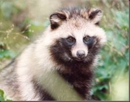 Amazing Animal Pictures Racoon Dog (4)