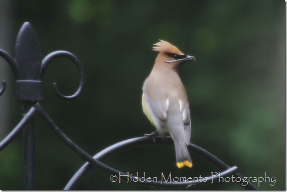 Day 124 - Cedar Wax Wing