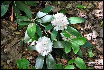 44 - Battleship Rock Trail- Through the blooming Rhododendron
