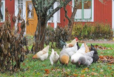 Hedemorahöns, höns i trädgården