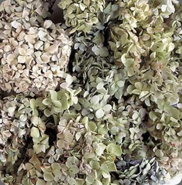 dried gardenhydrangea_lg
