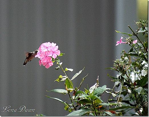 Humingbird_Phlox