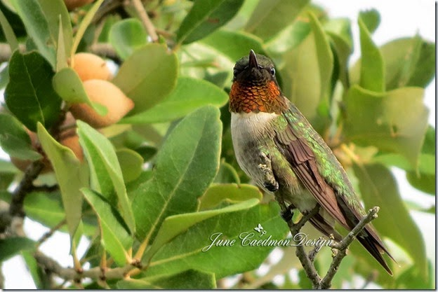 Ruby-throated_Hummingbird1