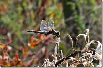 common darter female Sept 2014 (2)
