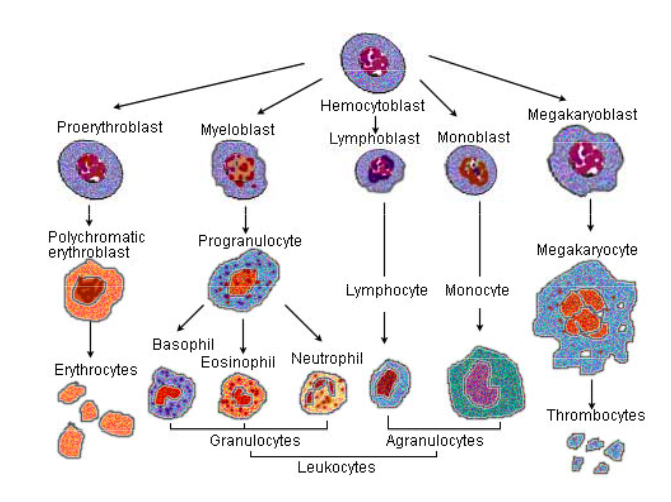 Erythrocytes and Leukocytes