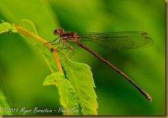 Violet Dancer female _DSC6032Macro-Damsel-Dragon-Flowers-Butterfly-scenic NIKON D300 June 16, 2010