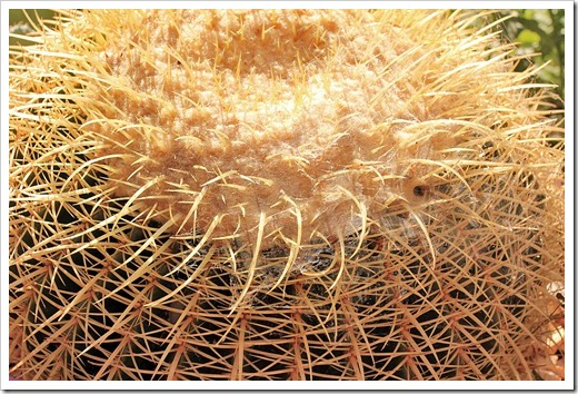 120815_Echinocactus-grusonii