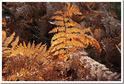 111124_brown_fern