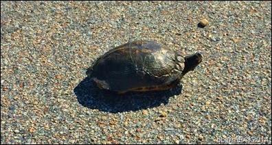 Turtle 10112014