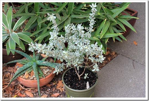 120914_YuccaDoPlants_Leucophyllum-frutescens-Compacta_01
