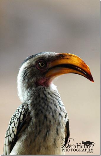 cr-southern-hornbill-042