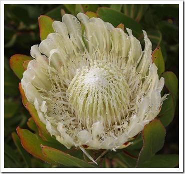 120211_UCSC_Arboretum_Protea-obtusifolia_01