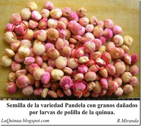 Granos de la variedad Pandela